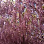 世界の夢の旅行先として日本で唯一選ばれた花の楽園。外国人観光客で溢れる足利フラワーパークにいってきた